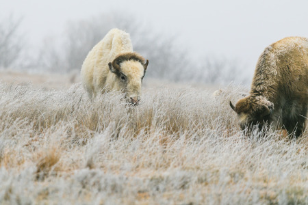 A rare white bison with its heard in Lake Scott State Park grazes on grass in the winter of 2019 Фото со стока