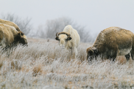 A rare white bison with its heard in Lake Scott State Park grazes on grass in the winter of 2019 Reklamní fotografie