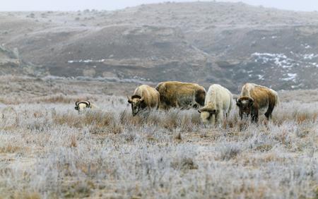 Un raro bisonte blanco con su oído en el Parque Estatal Lake Scott pasta en la hierba en el invierno de 2019 Foto de archivo