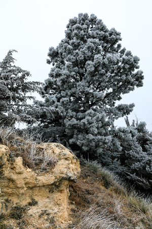 Tree hangs closs to the edge of a cliff at the Lake Scott State Park covered in frost