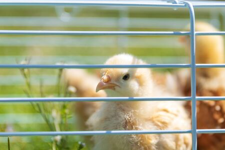 A Buff Orpington chick peeks through the cage. 免版税图像