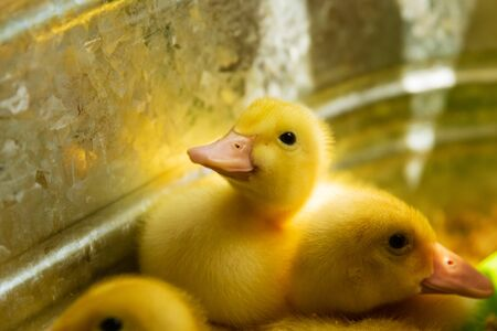 A peking Duckling sits in a brooder