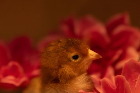 A cute Long Island Red Chick sits among some flowers