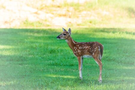 A young deer stands in the grass near the Pensacola Dam in Langley, Oklahoma 2019