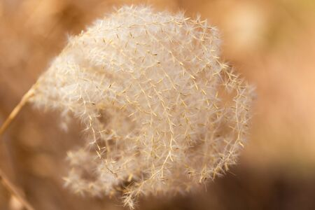 A Soft and Golden view of a sprout of the Pampas Grass Seeds