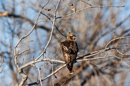 A Red Tailed Hawk perched on a tree branch in Vian, Oklahoma 2019