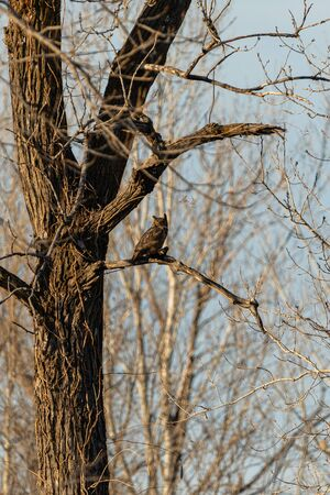 A Great Horned Owl with its next meal perched in a tree Reklamní fotografie