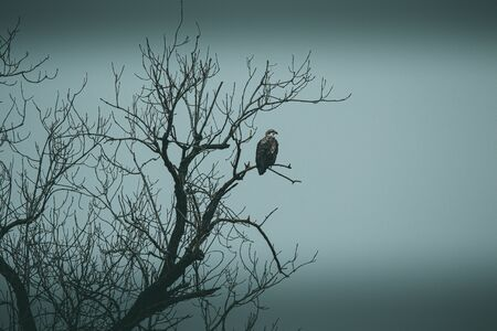 A group of Eagles made up of Adult & Juvenile fishing along the waters of Oklahoma