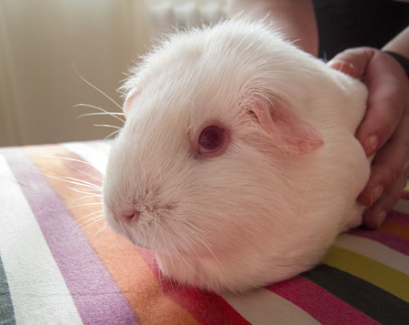Guinea pig (Cavia porcellus) looking at the camera in the morning sunlight. White cavy with red eyes.