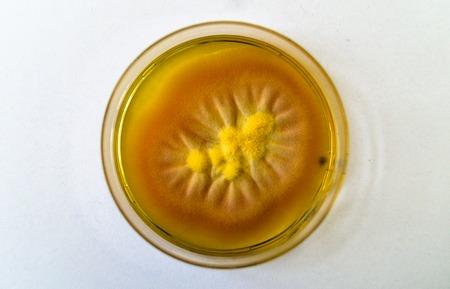 Mold grown on a Sabouraud agar medium in a Petri dish.