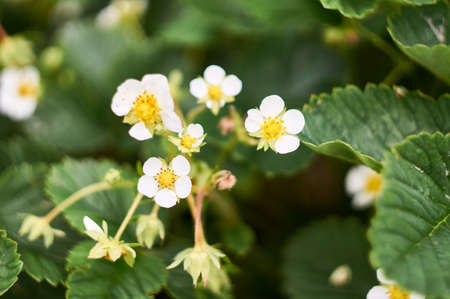 White strawberry flowers among green leaves on a bed. 免版税图像