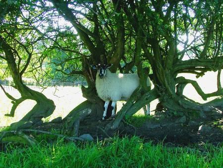 dales: dales Sheep Hiding