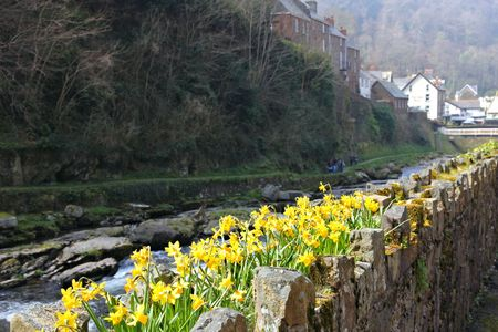 lynmouth: lynmouth daffodils Stock Photo