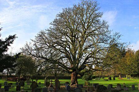 churchyard: churchyard tree