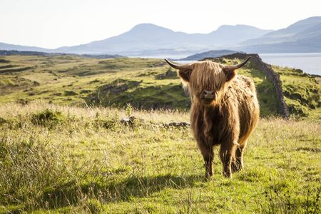 highland: Highland cattle on Isle of Lismore, Scotland