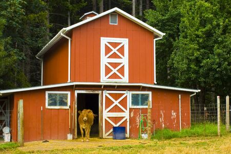 Cow walking out of old red barn Stock Photo