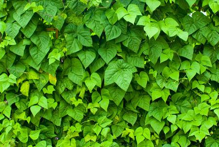 Solid wall of green leaves Reklamní fotografie