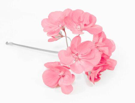 pink geranium bloom