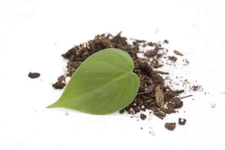 develope: Ivy leaf in soil on white background