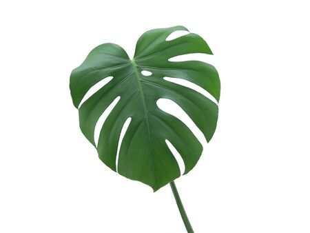 Green Monstera Deliciosa Leaf on a white background