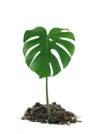 Green Monstera Deliciosa Leaf in dirt on white background Reklamní fotografie