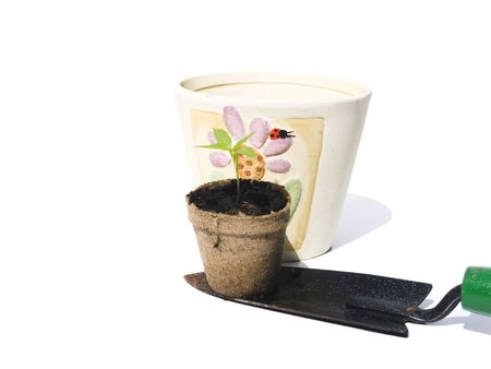 replanting: Bell pepper seedling on shovel for replanting with white background Stock Photo