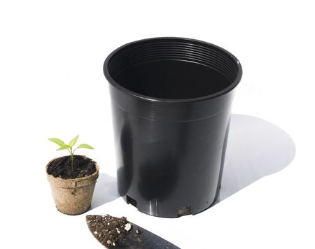 replanting: Bell pepper seedling ready for replanting on white background Stock Photo