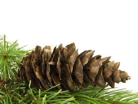 Pine cone laying in branches with white background