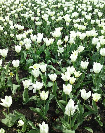 Flower - Field of Tulips Stock Photo