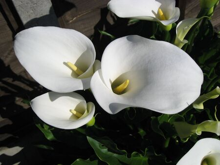 Flower - White Lilly