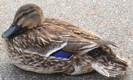 water fowl: Sitting Duck ! Stock Photo