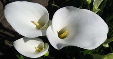 Flower - White Lillies