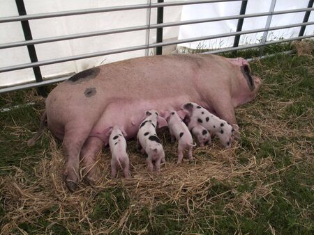 Piglets Feeding on Sow