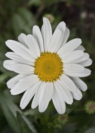 Flowers - Single White Daisy