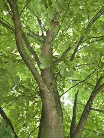 Tree - Horse Chestnut Tree, Looking up inside