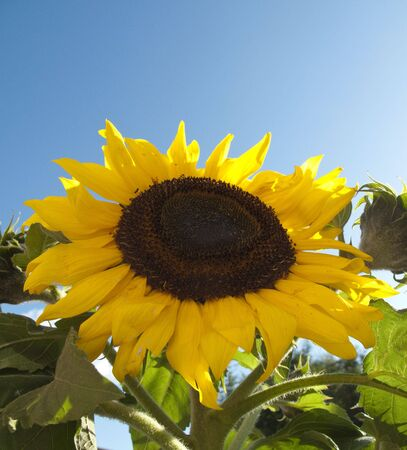 A closeup of a sunflower with a blue sky in the background