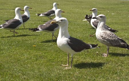 A Flock of Seagulls dancing around on the grass....waiting for food !!