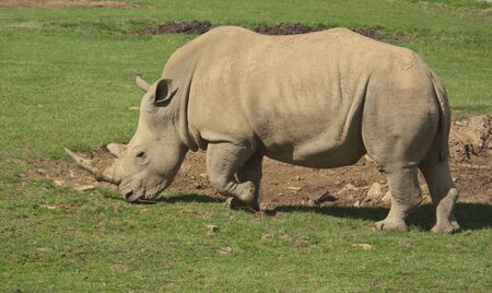 A wonderful male white Rhino wandering around looking for food