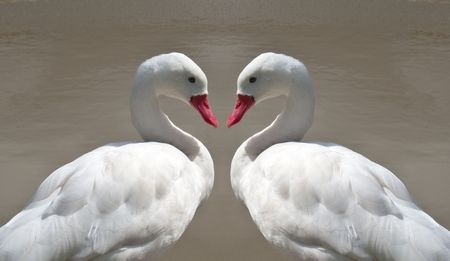 Two love ducks making the shape of a heart photo