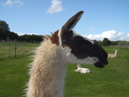 a closeupof a Llamas head - amongst others in the field photo