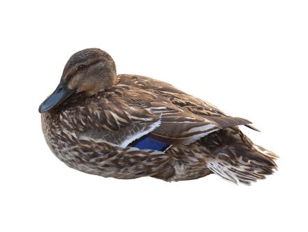 an english duck sat, isolated on a white background