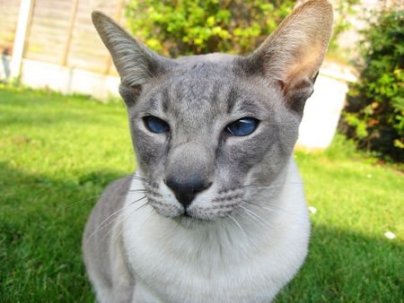 a lovely siamese, seal point, looking at you photo