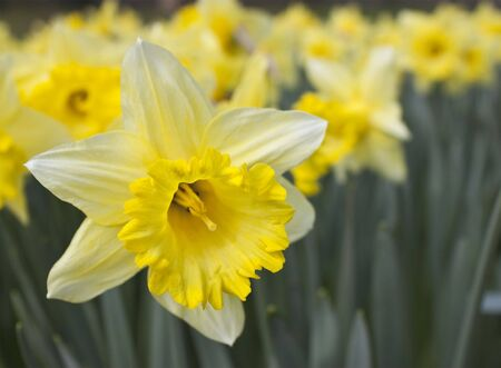 a single daffodil in focus with a background of soft focus daffodils