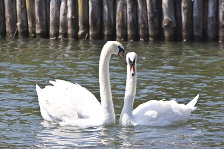 a couple of swans cuddled up close on a lake photo