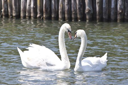 a couple of lovely swans on a lake, forming a heart shape with their necks photo