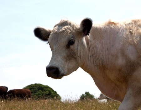 a white cow just walking by Stock Photo
