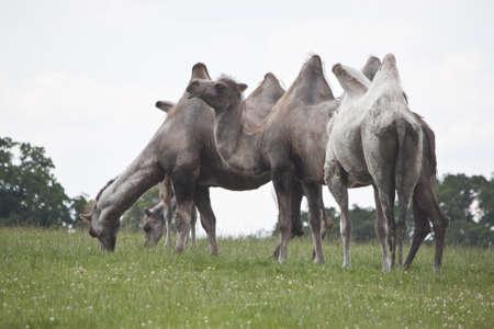 camellos comiendo pasto en una colina Foto de archivo - 9906065