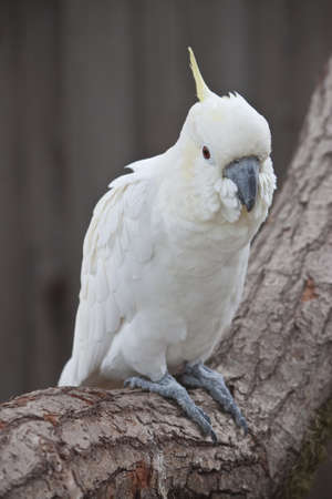 natural white cockatoo sat on a branch
