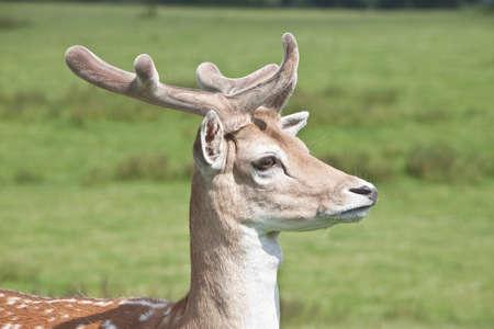 portrait of young deer with velvet antlers