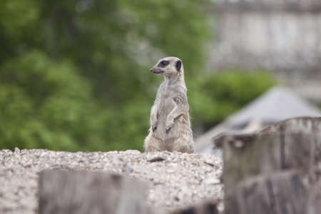 forever looking in the sentry position, a meercat